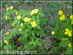 060430yamabukiso1