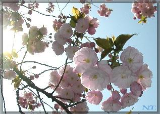 Sakura060406