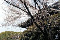 100322sakura