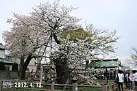 120413hatazakura