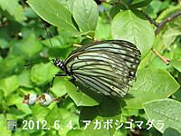 120604akabosigomadara