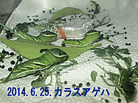 140625karasuagehayochu