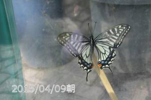 150409ageha1a