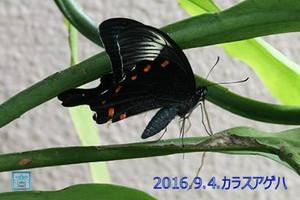 160904karasuageha_2