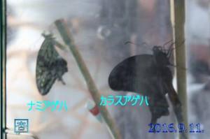 160911nami_karasu_2