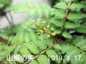 Sansyo_mi